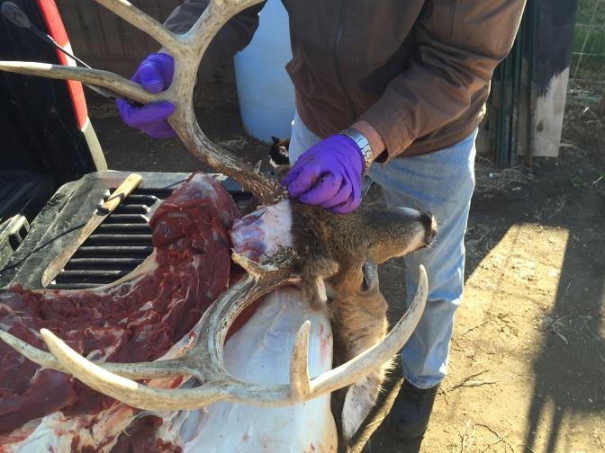 Caping Deer